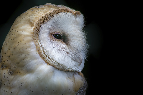 Barn Owl Portrait Canvas print by Andy McGarry