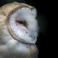 Buy canvas prints of Barn Owl Portrait by Andy McGarry