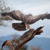 Buy canvas prints of Eagle by Claire Ellis