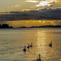 Buy canvas prints of Swan Set by Malcolm McHugh