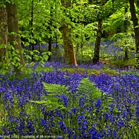 Buy canvas prints of Deep in the Bluebell Wood by Martyn Arnold