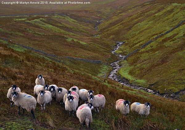Dales Sheep on Harthope Moor Upper Teesdale Canvas print by Martyn Arnold