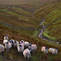 Buy canvas prints of Dales Sheep on Harthope Moor Upper Teesdale by Martyn Arnold
