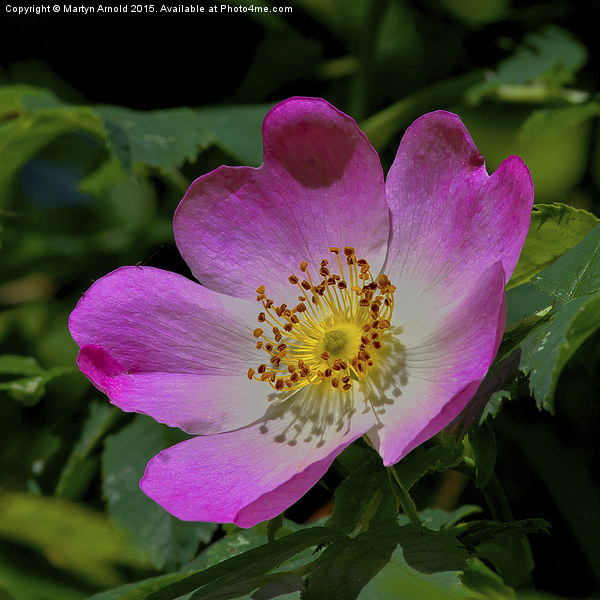 Rosa Canina - The Dog Rose Canvas Print by Martyn Arnold