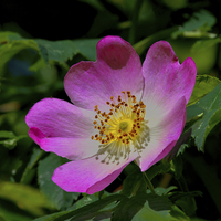 Buy canvas prints of Rosa Canina - The Dog Rose by Martyn Arnold