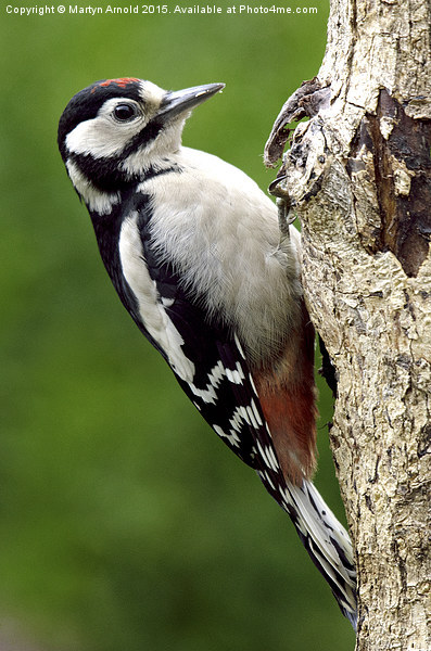 Greater Spotted Woodpecker Canvas print by Martyn Arnold
