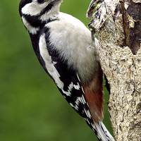 Buy canvas prints of Greater Spotted Woodpecker by Martyn Arnold