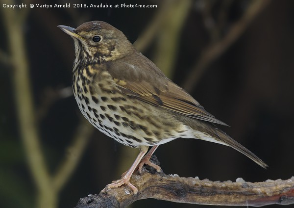 Song Thrush  (Turdus philomelos) Canvas print by Martyn Arnold