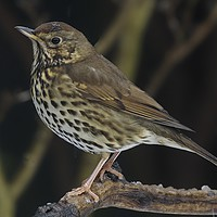 Buy canvas prints of Song Thrush  (Turdus philomelos) by Martyn Arnold