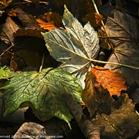 Buy canvas prints of Autumn Leaves by Martyn Arnold
