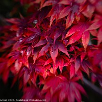 Buy canvas prints of Autumn Acer by Martyn Arnold