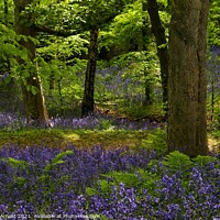 Buy canvas prints of Durham Bluebell Wood by Martyn Arnold