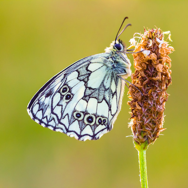 Marbled White Butterfly Canvas Print by Lee Thorne