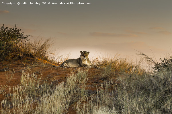 Lioness in the Last Rays of the Sun Canvas Print by colin chalkley