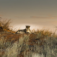 Buy canvas prints of Lioness in the Last Rays of the Sun by colin chalkley