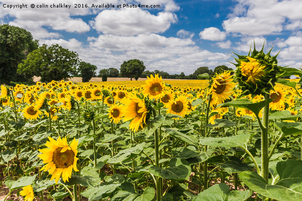 Sunflowers in Boussac Canvas Print by colin chalkley