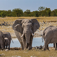Buy canvas prints of An old Bull Elephant Protecting His Herd by colin chalkley
