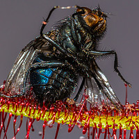 Buy canvas prints of  House Fly captured by a Cape Sundew Plant by colin chalkley