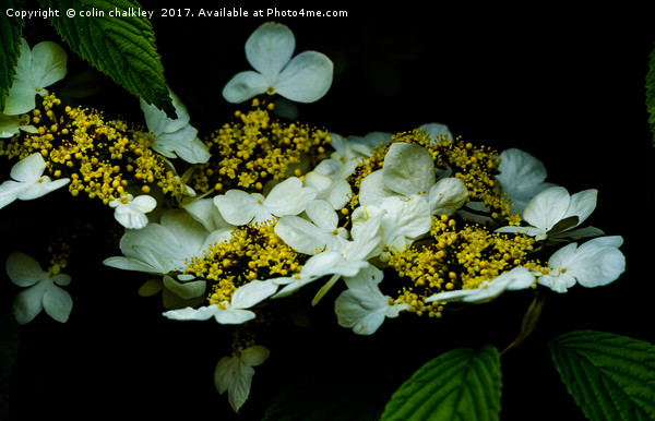 Lace Hydrangea Canvas Print by colin chalkley
