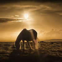 Buy canvas prints of  Gower pony at sunset on Cefn Bryn by Leighton Collins