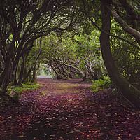 Buy canvas prints of Rhododendron arched walkway by Leighton Collins