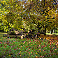 Buy canvas prints of Autumn leaves and cut trees by Leighton Collins