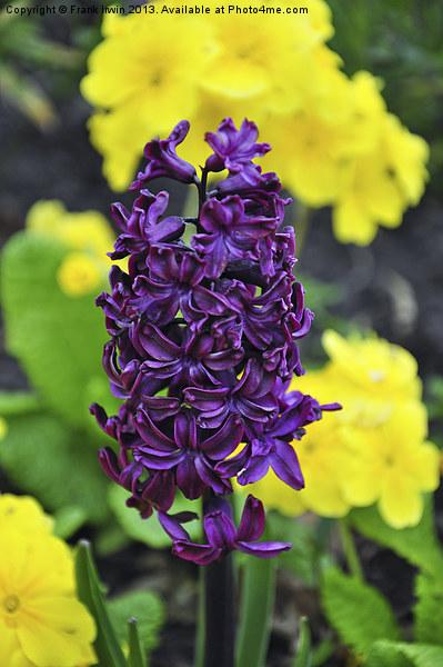 Hyacinth Print by Frank Irwin