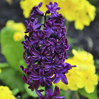 Buy canvas prints of Hyacinth by Frank Irwin