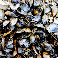 Buy canvas prints of A host of empty Mussels Shells by Frank Irwin