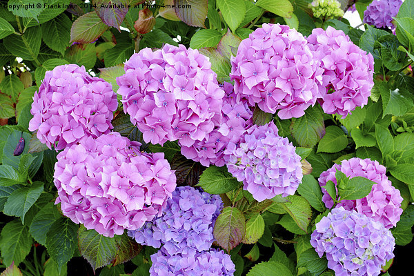 Common but colourful Hydrangea Print by Frank Irwin