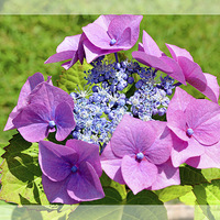 Buy canvas prints of  The Beautiful Hydrangea macrophylla by Frank Irwin