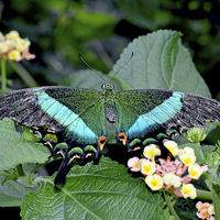 Buy canvas prints of The beautiful Blue Banded Swallowtail butterfly by Frank Irwin