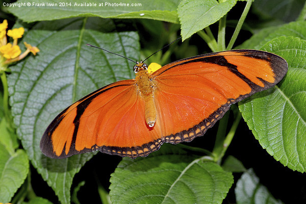 Caroni Flambeau (The Flame) butterfly Framed Mounted Print by Frank Irwin