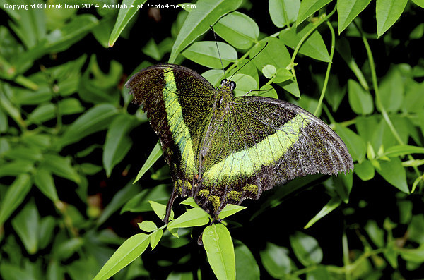 Green-Banded Swallowtail butterfly Canvas print by Frank Irwin