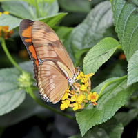 Buy canvas prints of Caroni Flambeau (The Flame) butterfly by Frank Irwin