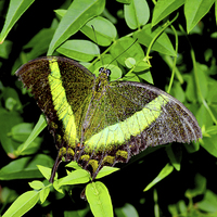 Buy canvas prints of  Green-Banded Swallowtail butterfly by Frank Irwin