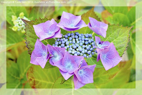 Beautiful & Colourful Hydrangea Macrophylla Print by Frank Irwin
