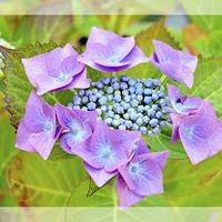 Buy canvas prints of Beautiful & Colourful Hydrangea Macrophylla by Frank Irwin