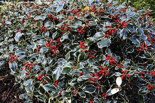 Christmas Holly Bush foliage Print by Frank Irwin