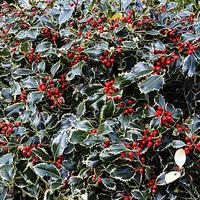 Buy canvas prints of  Christmas Holly Bush foliage by Frank Irwin