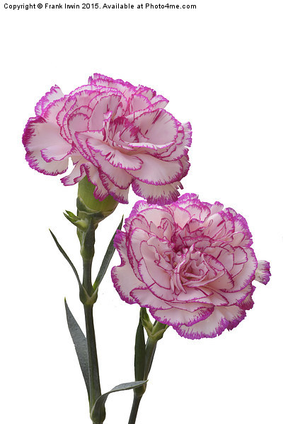 A pair of colourful carnations Print by Frank Irwin