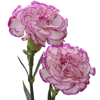 Buy canvas prints of  A pair of colourful carnations by Frank Irwin