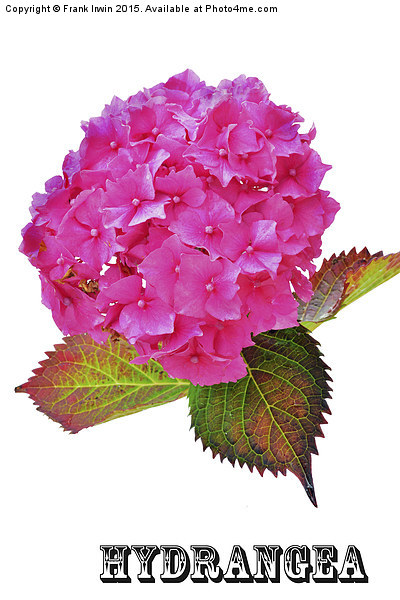 Beautiful Hydrangea in all its glory Print by Frank Irwin
