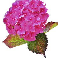 Buy canvas prints of Beautiful Hydrangea in all its glory by Frank Irwin