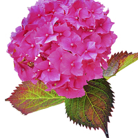 Buy canvas prints of  Beautiful & Colourful Hydrangea  by Frank Irwin