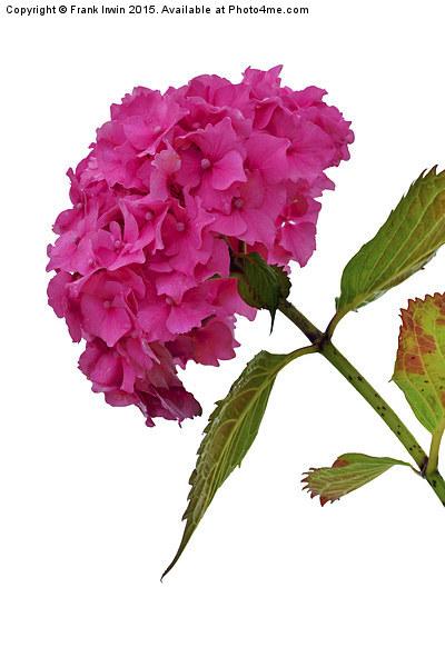 Beautiful & Colourful Hydrangea Print by Frank Irwin