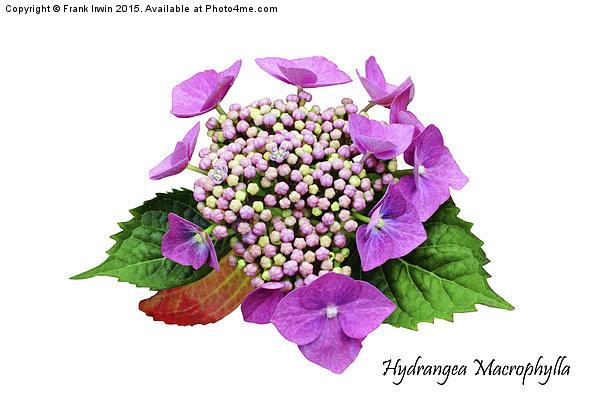 The Beautiful Hydrangea macrophylla Print by Frank Irwin