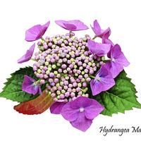 Buy canvas prints of The Beautiful Hydrangea macrophylla by Frank Irwin
