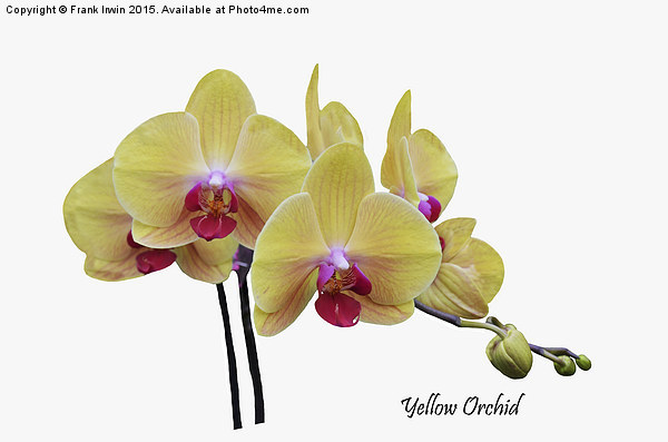 Beautiful yellow orchid Print by Frank Irwin