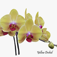 Buy canvas prints of  Beautiful yellow orchid by Frank Irwin
